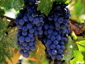 Выращивание винограда и уход за ним