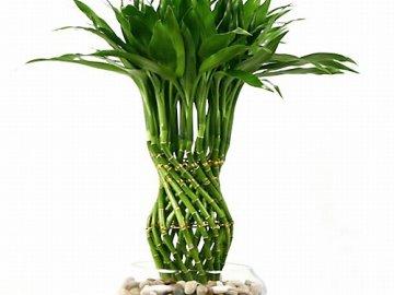 Комнатный бамбук счастья