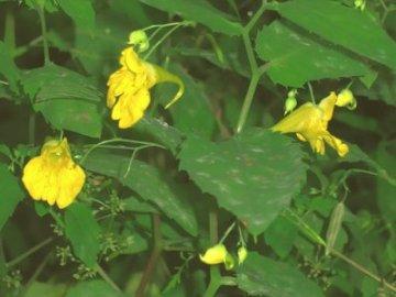 Растение недотрога