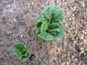 Молодой росток картофеля