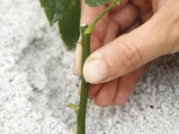 Подготовка черенков винограда к посадке