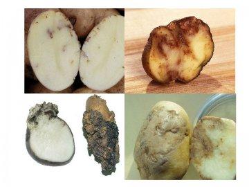 болезни картофеля в картинках