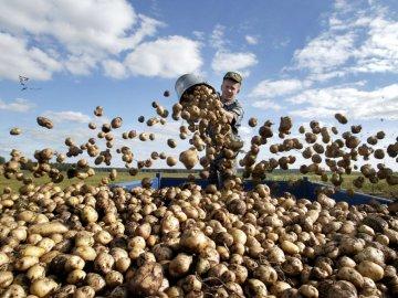 Урожайность картофеля с 1 гектара