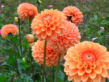Цветы георгин