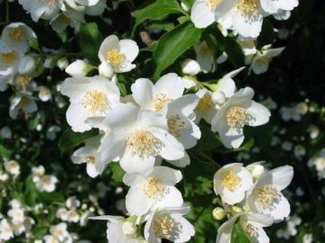 Как ухаживать за жасмином садовым