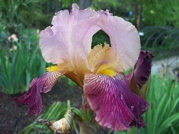 касатик цветок