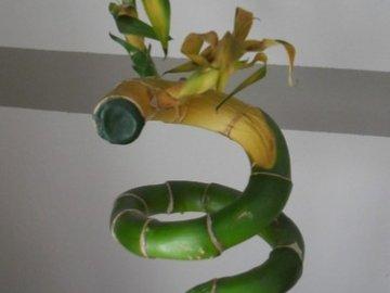 почему желтеет бамбук