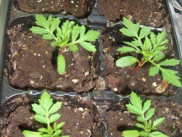 как вырастить рассаду бархатцев