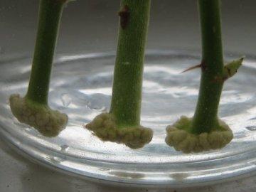 Размножение розы семенами в домашних условиях