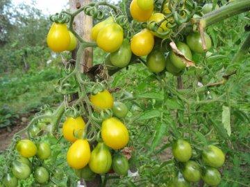 томат вишня желтая