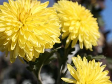 Как вырастить хризантему из букета