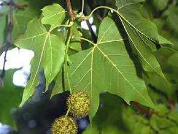 листья платан фото