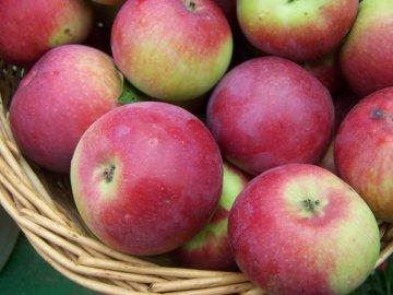 Урожай яблок Орлик