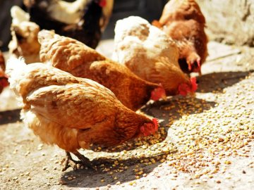 Чем лучше кормить кур