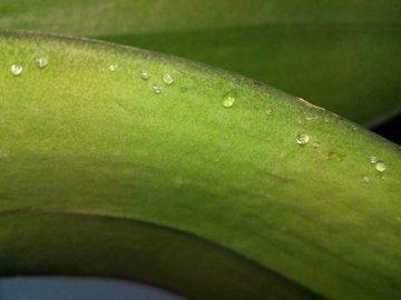 Липкие капли на листьях орхидеи