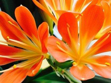 Цветки Кливии крупным планом