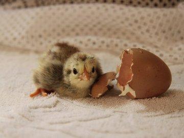 Вылупившийся цыпленок