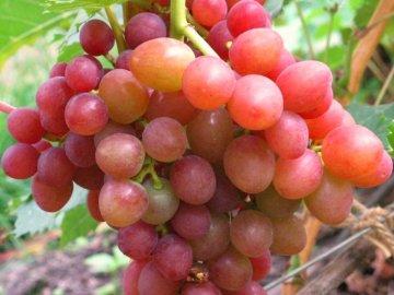 Блестящий виноград с розовым загаром