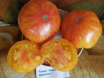 Сорт помидоров Король красоты