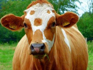 Какая температура тела нормальная для коров