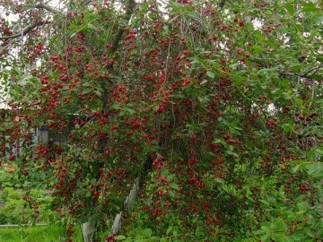 Урожайность сорта Брусницына