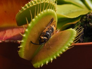 Кормление венериной мухоловки