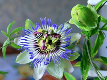 Цветущая Маракуйя (Пассифлора)