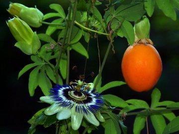 Маракуйя плодоносит в домашних условиях