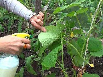 Обработка огурцов от вредителей