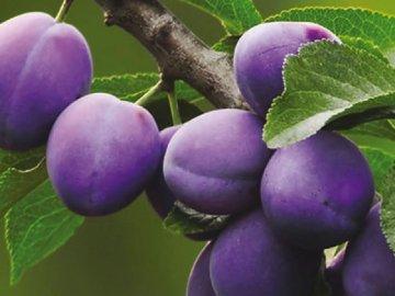 Фиолетовая слива