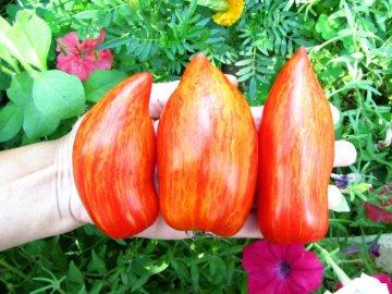 Сбор урожая помидор Искры пламени