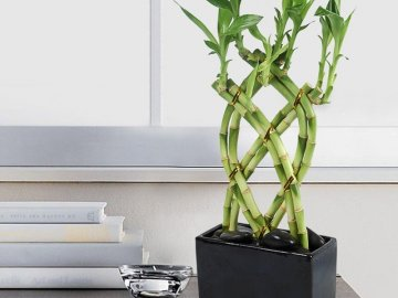 Бамбук в грунте
