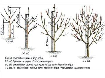 Схема обрезки груш