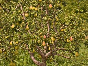 Грушевое дерево