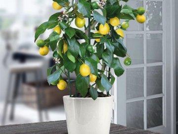 Лимонное дерево в горшке