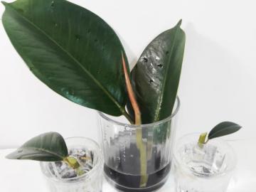 Размножение фикуса листьями