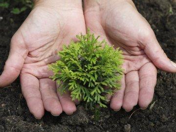 Выращивание туи