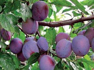 Слива это фрукт или ягода