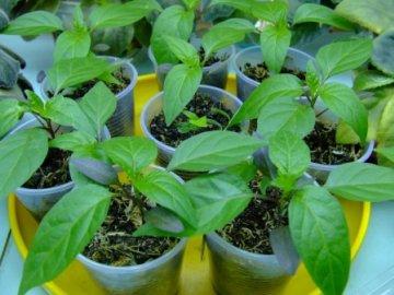 посев перца на рассаду сухими семенами