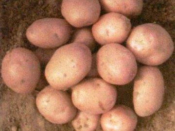 скороспелый картофель