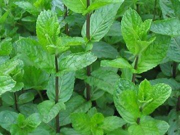мята выращивание из семян