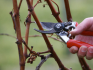 Весенняя обрезка винограда: сроки и правила