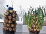 Варианты выращивания лука на подоконнике