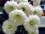 Полезные свойства индийской хризантемы