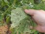 Огуречные листья, пораженные тлей