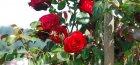 Прививка роз на шиповник