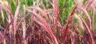 Пеннисетум щетинистый