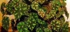 Бегония декоравно-лиственная