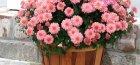 Домашние хризантемы