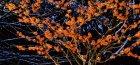 Волшебное растение гамамелис